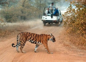 harimau india