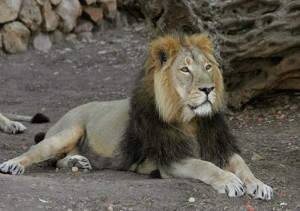 Indian lions pictures
