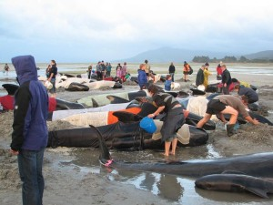 pilot-whale-stranded