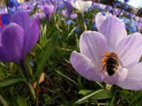 Pencurian Lebah, Problem Baru Warga New Zealand