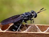 Budidaya Lalat Tentara Hitam Sebagai Solusi Menangani Sampah